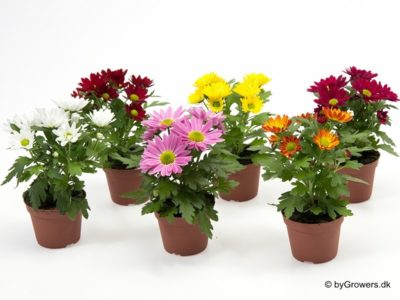 как ухаживать за комнатной хризантемой