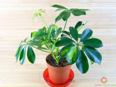 комнатные растения коринокарпус