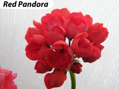 red pandora пеларгония