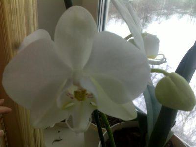 синяя орхидея уход