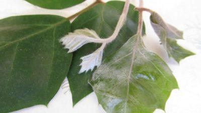белый налет на листьях петунии