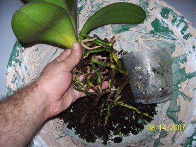 разведение орхидей черенками