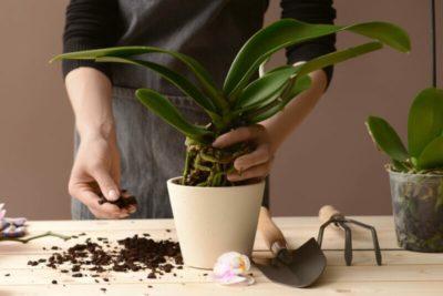 как размножается орхидея
