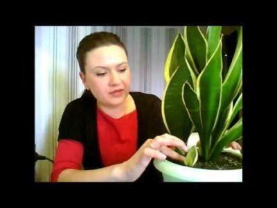 как рассадить щучий хвост