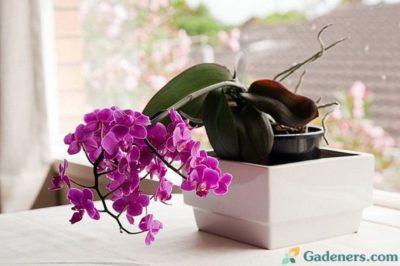 орхидея фаленопсис уход после покупки