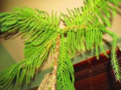 аспарагус перистый уход в домашних условиях