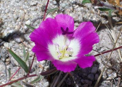 кларкия выращивание из семян когда сажать