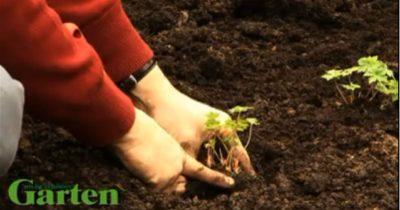 когда сажать георгины в открытый грунт весной