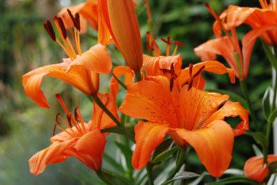 какие многолетние цветы сажают осенью