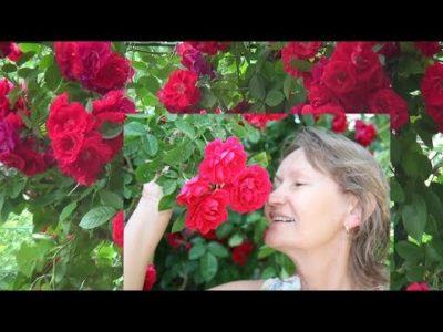 посадка вьющихся роз весной