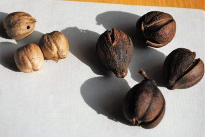 как посадить грецкий орех в домашних условиях