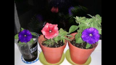 как правильно обрывать цветки у петунии