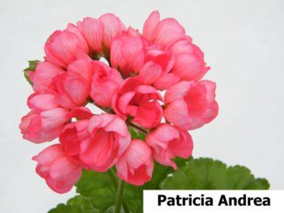 семена пеларгонии тюльпановидной