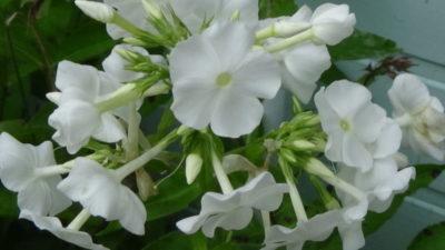 цветы похожие на флоксы