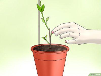 как размножить жасмин комнатный