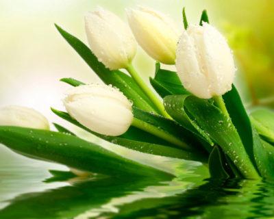 белые тюльпаны что означают