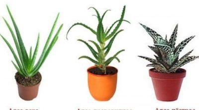 алоэ как стимулятор роста растений