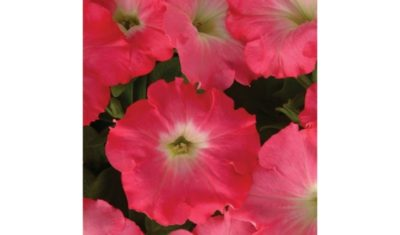 срок годности семян петунии