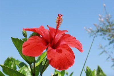 цветок похожий на гибискус