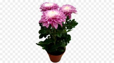 хризантема кустовая уход
