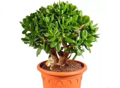 цветок живое дерево