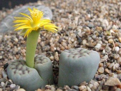 как вырастить кактус из семян