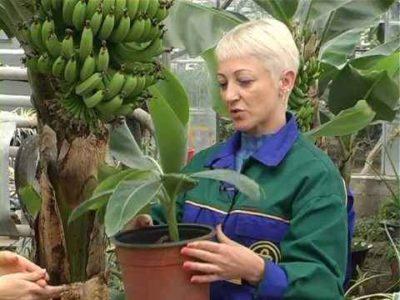 как вырастить бананы в домашних условиях