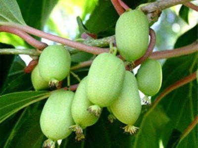 актинидия выращивание и уход