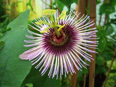 пассифлора выращивание из семян