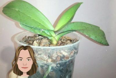 что делать с воздушными корнями орхидеи