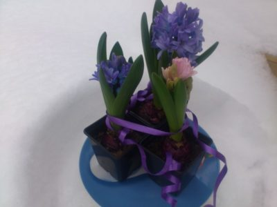 как вырастить гиацинт к 8 марта