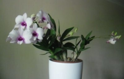 орхидея нобиле уход