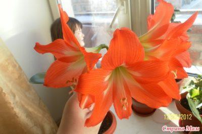 не цветет гиппеаструм что делать