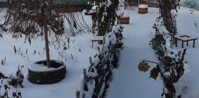 как укрыть глицинию на зиму