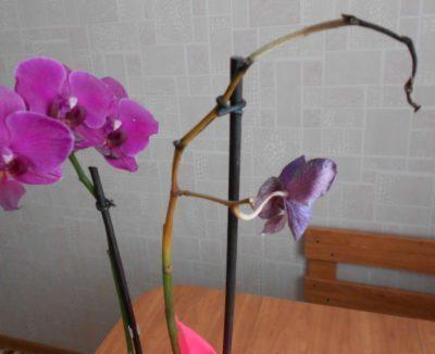как ухаживать за орхидеями в домашних условиях в горшке
