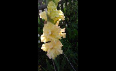 сколько цветут гладиолусы