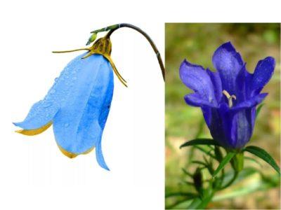 как выглядит колокольчик цветок