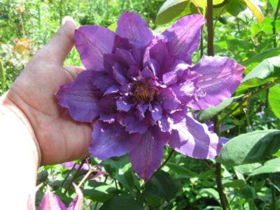 клематис пурпуреа плена