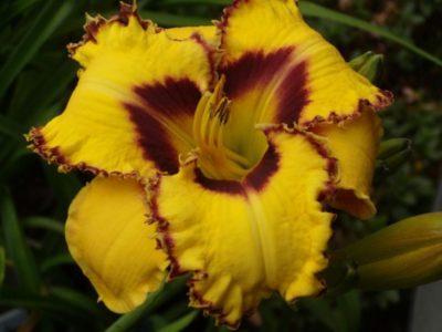 желтеют листья у лилейника