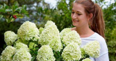 гортензия метельчатая когда цветет
