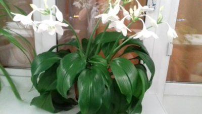 эухарис уход в домашних условиях почему не цветет