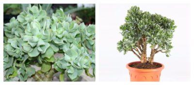комнатные растения приносящие деньги