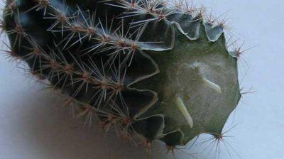 как размножить кактус в домашних условиях