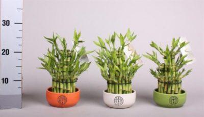 бамбук комнатное растение уход