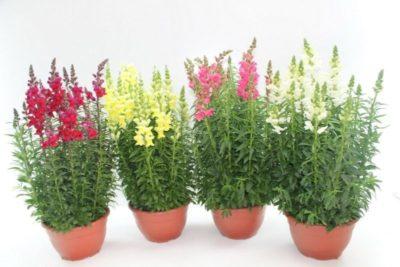 какие многолетние цветы посадить на даче